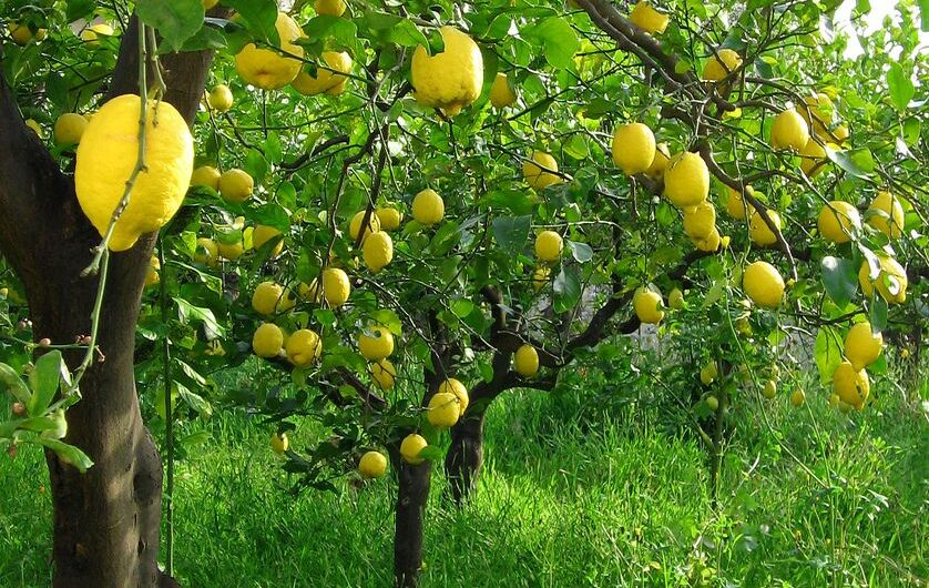 How to Grow Lemons at Home- Easy Ideas